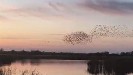 Spectacular starling murmuration captured at Strumpshaw Fen. Picture RSPB.