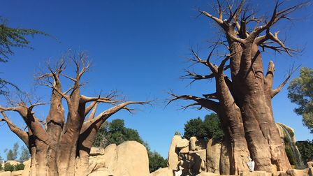 Baoab trees at Bioparc. Picture: Charlotte Smith-Jarvis