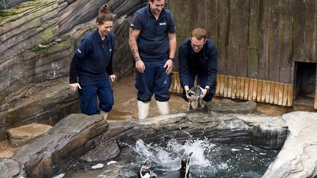 10 Humboldt penguins are transfered to Yarmouth sealife from a wildlife attraction on the Isle of Wh