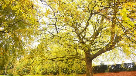 The trees next to the Walled Garden at Sandringham. Picture: Ian Burt