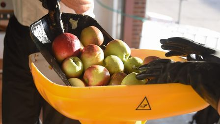 Apple pressing at the Harleston Cider Company, based at Palgrave. Apples are loaded into the hopper