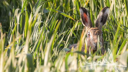Norfolks wild hare peeking above the crop field looking at the camera close up. Picture: Simon Bratt