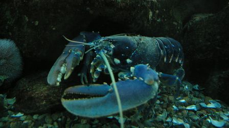 Fishing fleets targeting lobster are likely to be affected by the wind farms. Credit: Cefaclor/Wikim