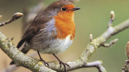 The robin's redbreast is a familiar sight in our gardens - and on our Christmas cards. Picture: Andy