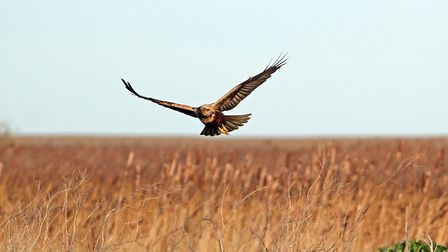 A marsh harrier in flight at Cley Marshes. Picture: Nick W