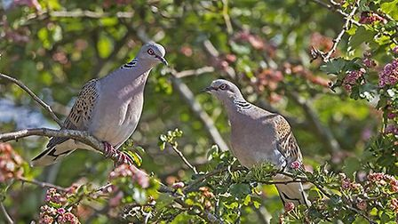 Chris Knights' photograph of two turtle doves, taken in Colin and Janet Baldwin's garden in East Bil
