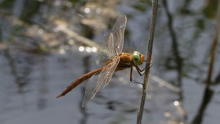 Norflok Hawker dragonfly. Picture: Ian Gill