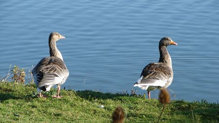 Pink-footed geese. Picture: Simon Bamber