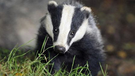 Badger. Picture: Ben Birchall/PA Wire
