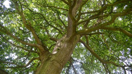 So how many leaves are there on an oak tree? One, two, three... hang on, just start again... Picture