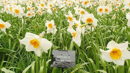 The colourful centre of narcissi flowers help attracts insects.