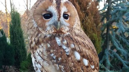 A two-year-old tawny owl called Shadow has escaped from Fritton Owl Sanctuary. Photo courtesy of Fri