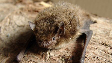 Our bats - like this pipistrelle - are unfairly maligned. Picture: Mnolf/NWT