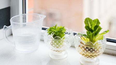 Salad leaves being regrown on a windowsill. Picture PA/thinkstockphotos.