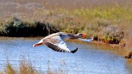 A greylag goose at Cley Marshes. Picture: David Thacker
