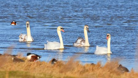 Swans at Cley Marshes. Picture: David Thacker