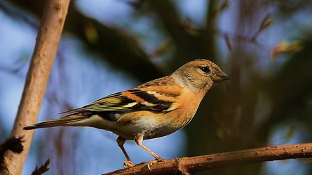 Brambling: This species has made a first-ever appearance at Grace Corne's bird feeders. Picture: Ric