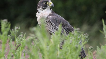 Peregrine falcon: The species' nesting at Norwich Cathedral is now an eagerly-awaited annual treat.