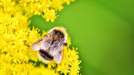 Bumble bees: There are many species of this type of bee to be found in Norfolk. Picture: Ben Mutton/
