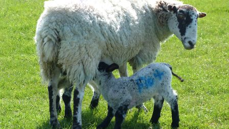 The sheep and lambs at Caistor St Edmund. Picture: Jamie Allison / iwitness24