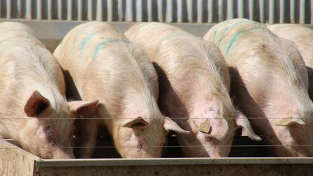 Meal time for pigs at the trough. Picture: Martin Sizeland / iwitness24