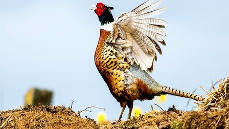Pheasant on a muck heap at Fen Farm in Bungay. Picture: Frances Crickmore / iwitness24