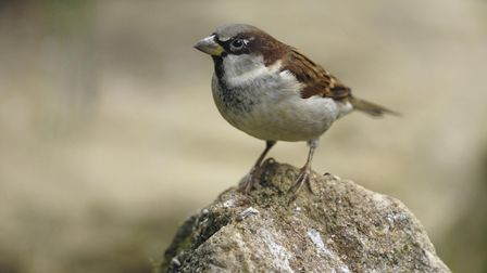 A house sparrow: The RSPB Big Garden Birdwatch has proved important information about this much-love