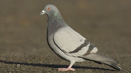 A pigeon. Picture: Steve Round