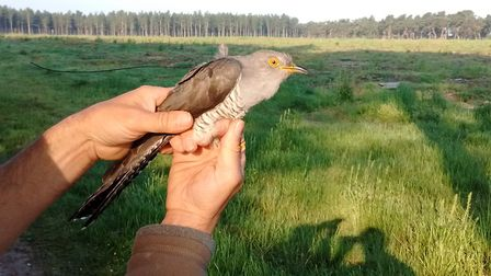 PJ the cuckoo who has been tagged by the BTO to find out more about the species which is in decline.