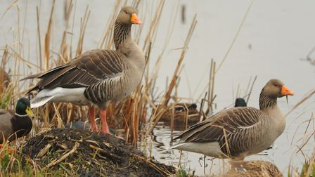 Greylag geese. Picture: DENISE BRADLEY