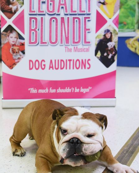 Four-year-old Winston, winner of the doggy auditions for Rufus in Legally Blonde at the Theatre Roya