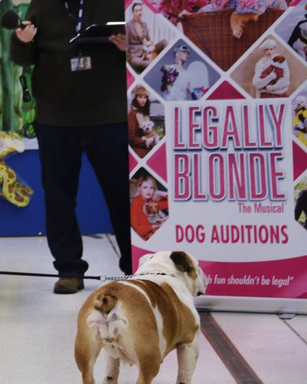 Bulldog Sugar takes a look at the poster during the doggy auditions for Legally Blonde at the Theatr