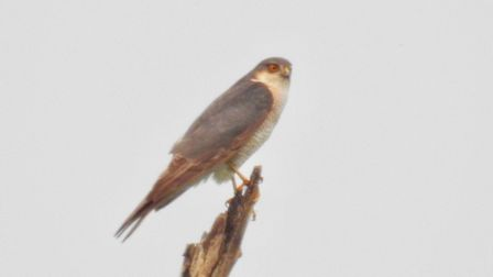 A sparrowhawk perched above the water, looking for its next meal.