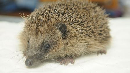 A hedgehog at the RSPCA's East Winch Wildlife Centre. Picture: Chris Bishop