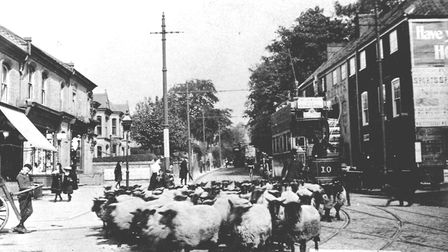 A flock of sheep driven along Earlham Road by a shepherd and his dog. Animals, not cars, caused traf