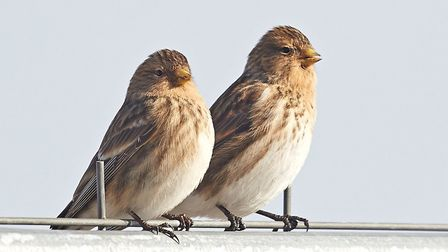 Twite (Carduelis flavirostris), a winter visitor to Norfolk.