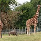 Giraffes explore the newly extended plains of Africa enclosure at Africa Alive.Picture: Nick Butcher