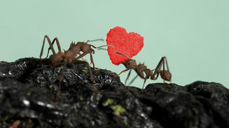 The world's tiniest ever Valentine's Day card being delivered to ants living at Hunstanton Sea Life