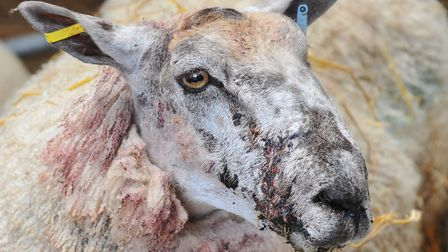 Bloodied and stitched, a ewe which survived an attack by a dog in Attleborough. Photo: Bill Smith