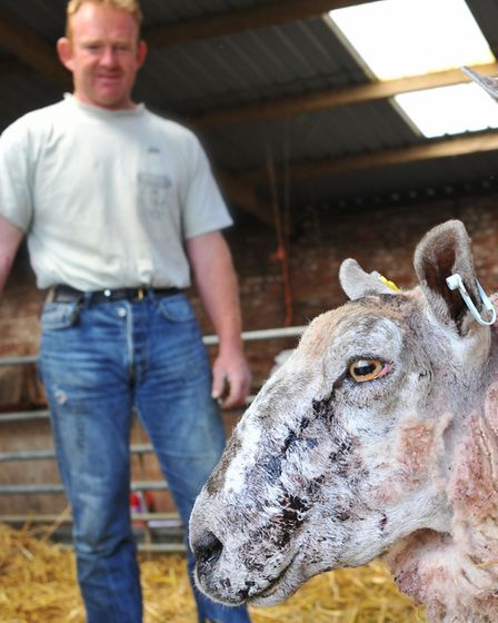 Shepherd David Cross with sheep which survived a dog attack in Attleborough. Photo: Bill Smith
