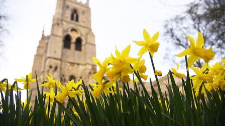Daffodils in bloom inside the grounds of The Minster, King's Lynn. Picture: Ian Burt