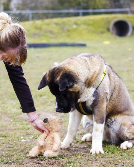 Bear the dog, who weighs 40.3kg, has found a new home. Picture: DOGS TRUST SNETTERTON