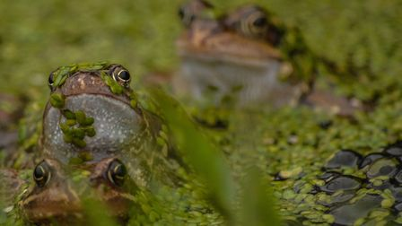 Frogs spawning in an allotment pond. Picture: Chris Bishop