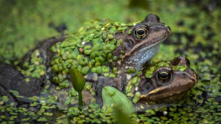 Frogs spawning. Picture: Chris Bishop