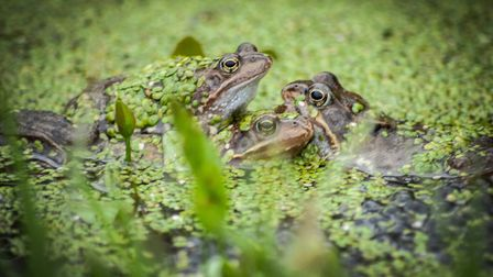 Frogs have emerged from hibernation and started spawning. Picture: Chris Bishop