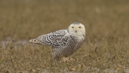 A photo of the snowy owl taken on Scolt Head Island on March 9, 2018. Photo: Baz Scampion