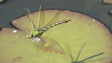 Everyone can help record dragonflies in their garden or local area. Picture: Dinah Goom/ Citizenside