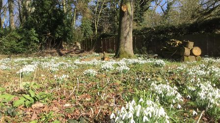 Snowdrops at Horstead Mill. Picture: Gordon Robertson