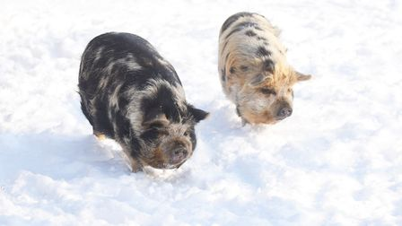 Kuna pigs in the snow at Castle Rising. Picture: Ian Burt
