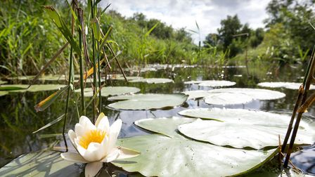 Waterlilly on Cockshoot Dyke. Picture: James Bass Photography